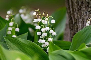 Rośliny cieniolubne w ogrodzie – jakie kwiaty, krzewy i drzewa wybrać do cienia?