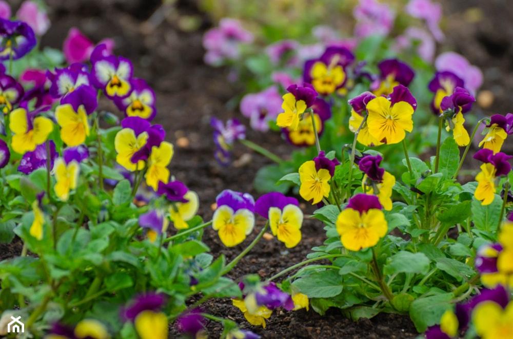 Kwiaty Wiosenne 10 Najpopularniejszych Odmian Ogrodowych Homebook