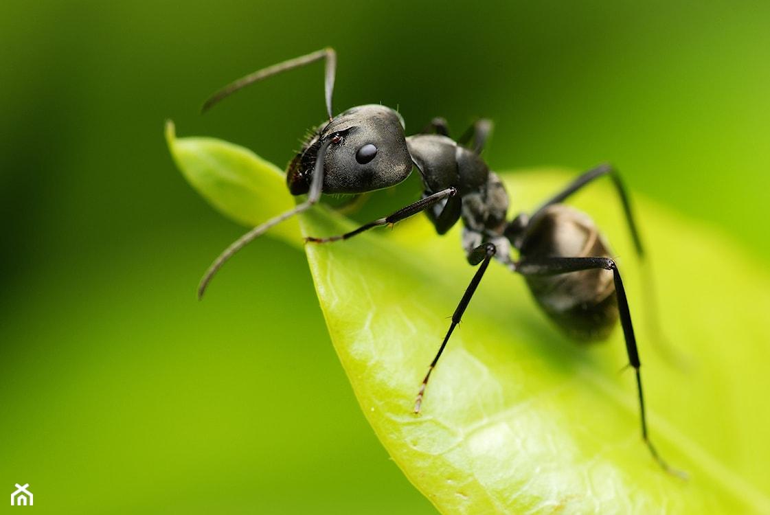 mrówki w ogrodzie