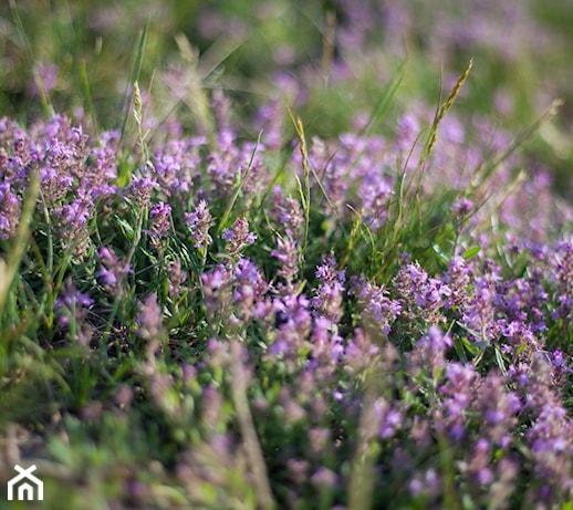 Tymianek – uprawa  w ogrodzie i domu