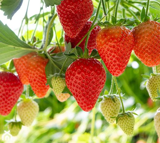 Sadzenie truskawek: kiedy i jak sadzić truskawki w ogrodzie i na działce