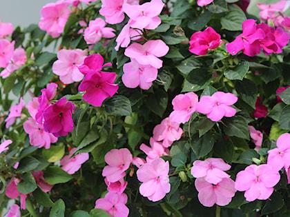 Kwiaty Doniczkowe Cieniolubne Co Wybrać Do Domu I Na