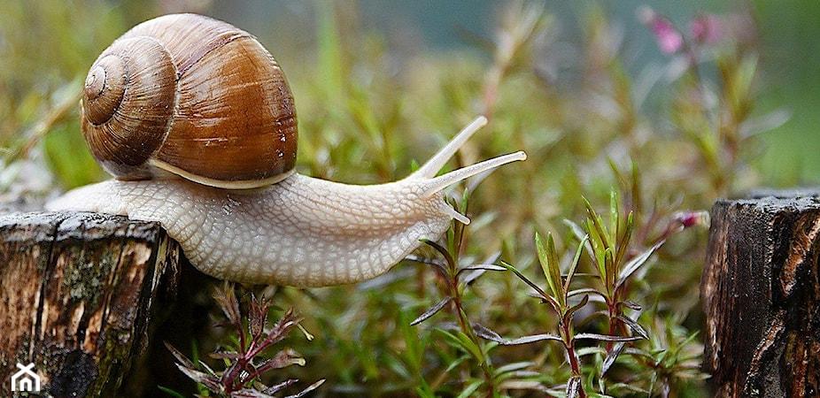 Ślimaki w ogrodzie – jak pozbyć się ślimaków? 5 sposobów