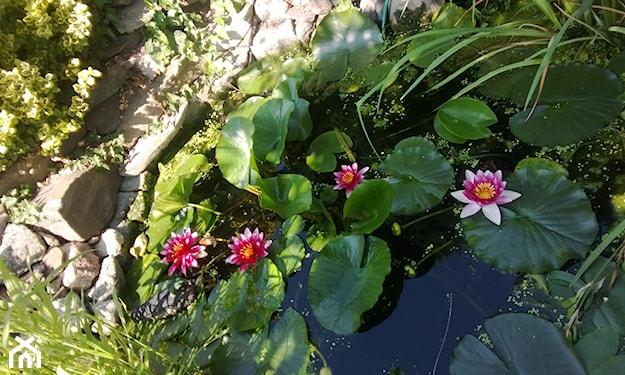 oczko wodne pełne kwitnących lilii