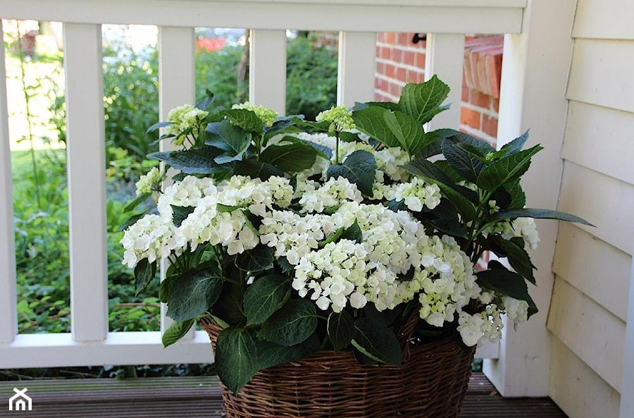 Kremowo białe Hortensje - zdjęcie od Travo