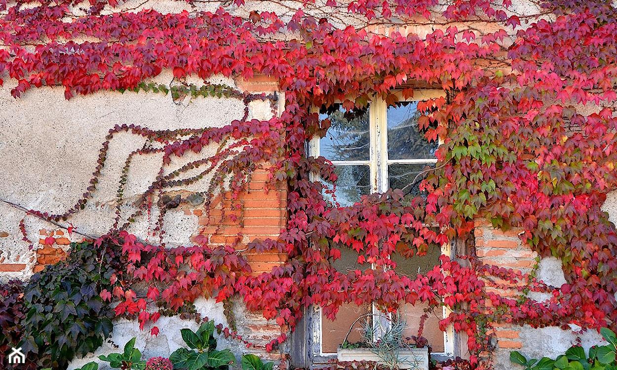 jesienne dzikie pnące wino
