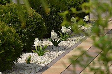 Hiacynty – pielęgnacja i uprawa w ogrodzie