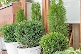 krzewy na taras