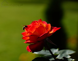 róża - zdjęcie od 123budujemy.pl - Homebook