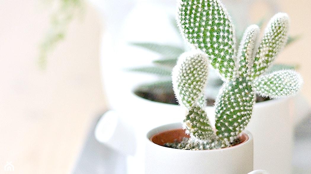 Kaktusy Doniczkowe Wszystko O Pielęgnacji Kaktusów Homebook