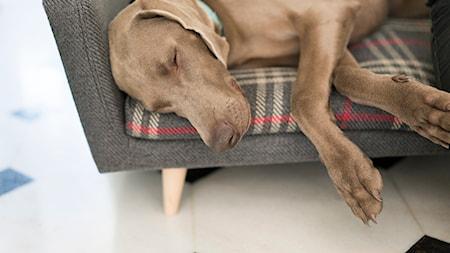 Pies na kanapie. Ekskluzywne legowiska dla psów.