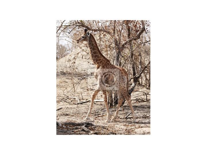 Plakat Dzikie żyrafy W Parku Narodowym Krugera W Rpa