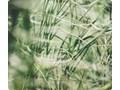 Szkło na płytę indukcyjną - Trawy 01