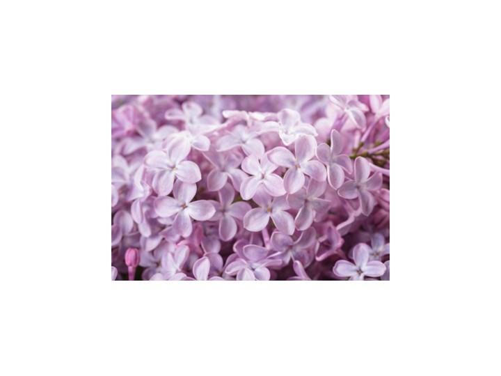 3da8f475071423 Fototapeta Delikatne kwiaty bzu 50x50 cm - Fototapety - zdjęcia ...