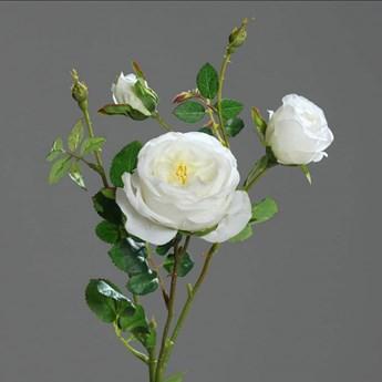 Biała Róża Pnąca - Róża Angielska - 60 cm - Produkt Premium
