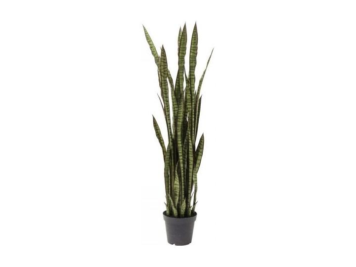 Roślina dekoracyjna Sansewieria 155 cm