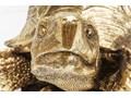 Figurka dekoracyjna Turtle XL 95x43 cm złota Zwierzęta Kategoria Figury i rzeźby