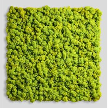 14x14 cm Chrobotek, mech reniferowy islandzki (001 wasabi) - basic